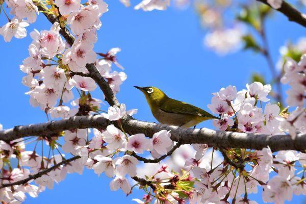 Anche quando soffriamo, i ciliegi sono in fiore
